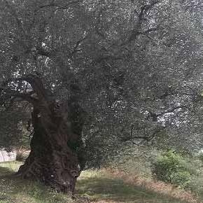 Ladri di alberi, ladri di paesaggio (ma che fine ha fatto la legge sul catasto degli alberi monumentali?)
