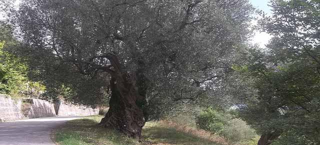 20130926-ulivi-rocca-querce-celle