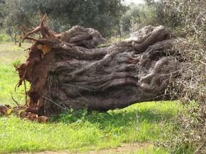 ulivo-sradicato1