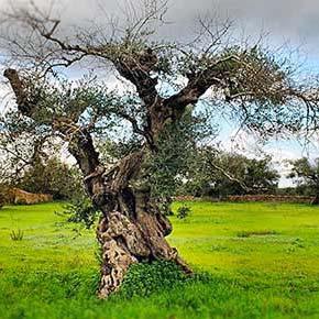 Proposte di FederBio per fronteggiare il disseccamento rapido dell'olivo in Puglia