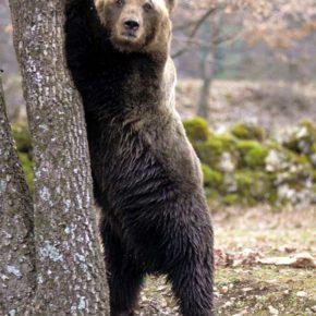 Una banca del genoma per l'orso marsicano