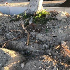 Ma la vogliamo smettere con il taglio delle radici degli alberi nel corso dei lavori pubblici?