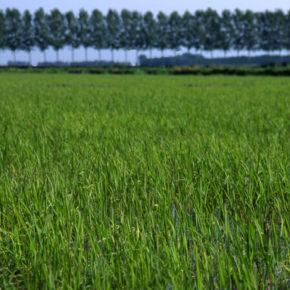 Le coltivazioni del riso Vialone a rischio per un deposito di rifiuti provenienti dalle auto demolite